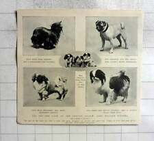 1905 Toy Dog Show Crystal Palace, Notable Winners, Pugs, Pekinese York Terrier