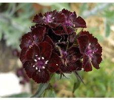 10 graines OEILLET DE POETE NOIR (Dianthus Barbatus Nigrescens)X33 SEEDS SEMILLA
