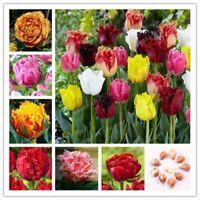2 pcs tulip bulbs Double Barbados flower bulbs tulips Bulbous Root tulipanes gar