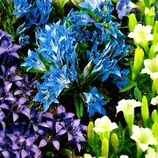 Enzian Gentiana Blumen Mischung Stauden winterhart mehrjährig 70 Samen Nr.370