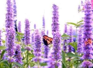 Schmetterlingsblume Samen Teichpflanze Sumpfpflanzen für Libellen Schmetterlinge