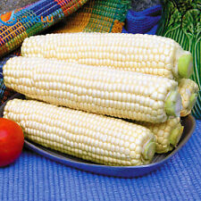 Corn seeds Super sweet F1 Ukraine heirloom seeds. 100 SEEDS