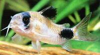 Panda Corydora Catfish - (Corydoras panda) - Live Freshwater Fish