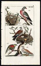 Antique Print-Bird-Turtle Dove-Pompadour Green Pigeon-Plate Xvi-Wilhelm-1810
