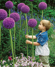 200 seeds Purple Giant Allium Giganteum plant flowers exquisite beauty perennial