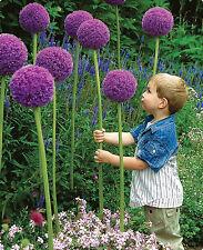 25 SEMI VIOLA GIGANTE Allium giganteum PIANTE FIORI squisita bellezza piante perenni