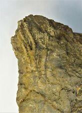 Crinoids - Mississippian Period - Very Preppable Fifeocrinus Matrix - Fm1