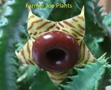 """LIFESAVER CACTUS - LIVE PLANT - 1 STARTER PLANT - 3"""" POT"""