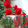 100PCS Red Climbing Rose Seeds Rosa Multiflora Perennial Fragrant Flower New