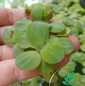 [ 15+ Dwarf Water Lettuce + BONUS Plant! ] *B2G1* Live Aquarium Fish Pond Plants