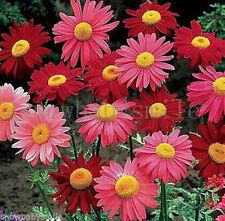 200 Pyrethrum Seeds Tanacetum Coccineum Robinsons Painted Daisy Flower Herbs