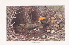 Schopflaubenvogel  Singvogel Farbdruck von 1911 Wilhelm Kuhnert