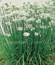 Garlic Chives Chive 50+ seeds hardy perennial herb white Allium Organic  NON-GMO