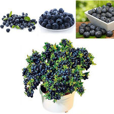 30Pcs Blueberry Tree Seed Fruit Blueberry Seed Potted Bonsai Seeds Plant SP