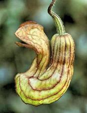 Aristolochia californica 5 seeds EXTREMELY RARE FREE SHIP