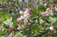 POTTED 3-4ft Wild CRAB APPLE TREE Malus Sylvestris Pink & White Blossom Fruits