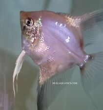 New listing Gorgeous Paraiba Angelfish Young - 6 Pack