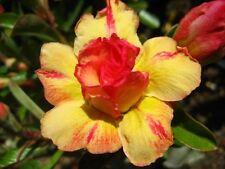 Adenium Obesum Desert Rose - CX Tongyord - Perennial Bonsai Seeds (5)