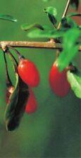 Lycium barbarum Goji-Beere - Gemeiner Bocksdorn, Chinesische Wolfsbeere
