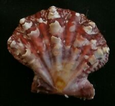 edspal shells - Chlamys mirifica 33.4mm F+++,,,Philippines