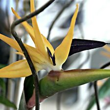 Yellow Bird of Paradise Strelitzia reginae Mandela's Gold PLANT Exotic Flower