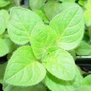 Herb - Oregano Greek - 2500 Seeds