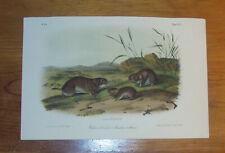 Audubon. Quadrupeds. Octavo. Yellow-cheeked Meadow Mouse.