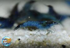 10+1 Blue Carbon Rili - Freshwater Neocaridina Aquarium Shrimp. Live Guarantee