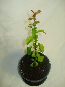 Japanese Quince CHAENOMELES JAPONICA edible fruit hardy flower shrub