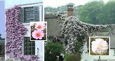 Wildrosen Set ♥ Samen Sortiment schnellwachsende immergrüne robuste Rosen Blumen