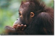 ANIMAL PLANET EARTH BABY ORANGUTAN POSTER PRINT 22x34 FAST FREE SHIPPING
