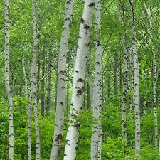 1 x Silver Birch Tree Sapling Seedling 30-50cm Garden Tree (Betula pendula)