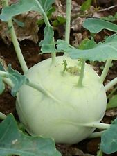 Early White Vienna Kohlrabi in 3 Different Sizes 50, 100 or 250 Seeds New