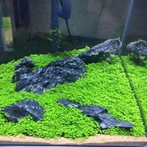 5g Aquarium Plant Seeds Fish Tank Aquatic Water Grass Foreground Easy Plants