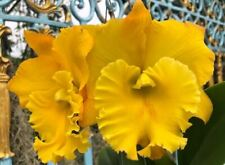 Bin-Rlc. Thaksina Gold 'Nn' Fragrant! Collector's item! Attractive Nice Cattleya