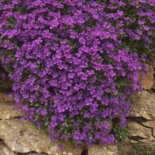 Seeds Obrieta Purple Perennial Hanging Climbing Outdoor Garden Organic Ukraine