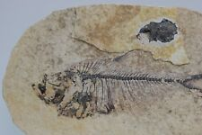 Diplomystus Fossil Fish on Each Side Green River Formation Wyoming Post Dinosaur