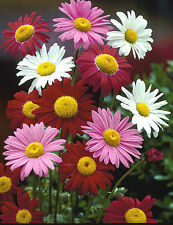 Pyrethrum Seeds - PAINTED DAISIES - Tricolor Mix - Perennial Flower - 50 Seeds