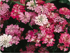 candytuft, PERENNIAL white pink FLOWER, 165 seeds! GroCo*,