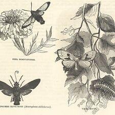 Papillons & présentant: Antique 1866 Gravure Imprimé Animal Art Nature Hawk Papillon