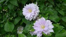 Clematis Belle of Woking double pale mauve flowers spring and autumn 1 litre pot