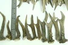 12 x  Roe Deer Antler Mini   NATURAL / HOME DECOR / Taxidermy / RPG