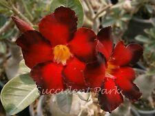 "Rosy Adenium Obesum (Desert Rose) ""Double Color"" grafted plant"