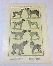 1918 print ~ Hunting+Watch Dogs Great Dane,St Bernard,Greyhound,Collie, more