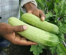 open pollinated seeds : large cucumber