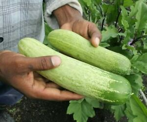 large cucumber : true breed vegetable seeds