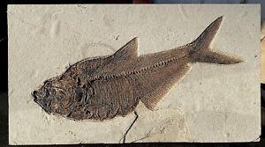 A Large Fossil Fish Diplomystus