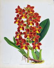 ODONTOGLOSSUM BREVIFOLIUM - 1888 HAND-COLORED FITCH / WARNER ORCHID