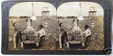 Keystone Stereoview Harvesting Pineapples in FLORIDA FL From 1920's K50 Card Set