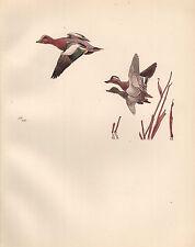 VINTAGE BIRD PRINT ~ WIGEON & GARGANEYS
